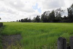 Photo of Spring wheat in Glazebury