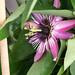 Passionsblume - Passiflora violacea