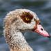 Egyptian Goose Portrait, Kelsey Park, London
