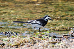 Photo of PiedWagtail