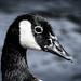 Canadian Goose Portrait, Kelsey Park, London