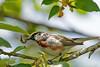 Paruline à flanc marron (Chestnut-sided Warbler) Godmanchester.
