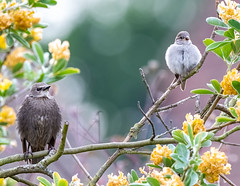 Garden 04.06.20 Juvenile Sparrow and Starling-1