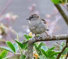 Garden 04.06.20 Juvenile Sparrow 3-1