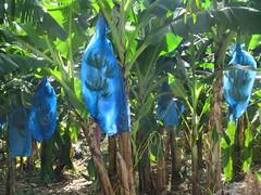 St. Lucia Bananas