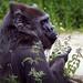 Western Lowland Gorilla at Bristol Zoo