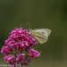 Large White Butterfly on Red Valerian ( Pieris brassicae)