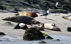 DSC_2707 gewone grijze-zeehond-of-kegelrob-halichoerus-grypus-gray-seal-kegelrobbe-phoque-gris
