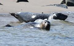 DSC_2701 gewone grijze-zeehond-of-kegelrob-halichoerus-grypus-gray-seal-kegelrobbe-phoque-gris