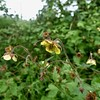 Water Avens, probably Hybrid Geum