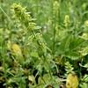 Crosswort : Cruciata laevipes