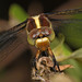 Spangled Skimmer - Libellula cyanea, Meadowood SRMA, Mason Neck, Virginia