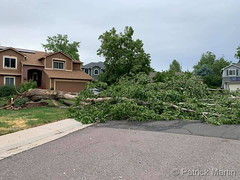 June 6, 2020 - One of many Thornton trees brought down by the wind. (Patrick Martin)