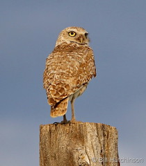 June 2, 2020 - Burrowing owl poses for pictures. (Bill Hutchinson)