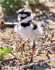 June 2, 2020 - A baby killdeer. (Bill Hutchinson)