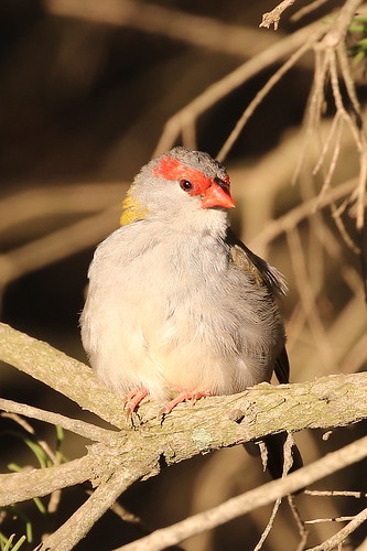 Red-browed Firetail (Neochmia temporalis)