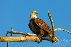 June 7, 2020 - Gorgeous bald eagle in the early morning sun. (Tony's Takes)