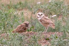 June 6, 2020 - Burrowing owls and a meal. (Tony's Takes)