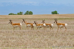 June 6, 2020 - Pronghorn bucks on the plains. (Bill Hutchinson)