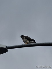 June 4, 2020 - A Swainson's hawk hanging out. (LE Worley)