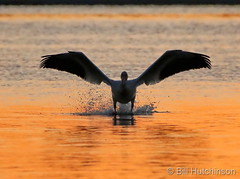 June 4, 2020 - Pelican taking off at sunrise. (Bill Hutchinson)