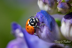 June 7, 2020 - Lady bug in Thornton. (Tony's Takes)