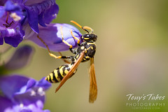 June 7, 2020 - Wasp on a flower. (Tony's Takes)
