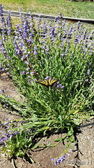 June 7, 2020 - Swallowtail butterfly checking out flowers. (Alisa H)