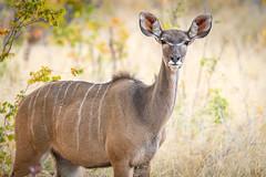 Kudu, Hwange