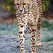 A cheetah walking
