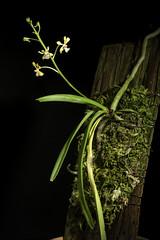 Vanda testacea '#190201' (Lindl.) Rchb.f., Gard. Chron., n.s., 8: 166 (1877)