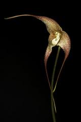 Dracula marsupialis Luer & Hirtz, Orchidee (Hamburg) 37: 25 (1986)