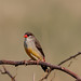 A Strawberry Finch perched on dry bush