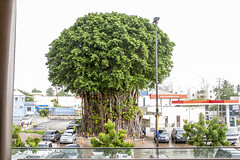 0352 Ficus Tree in Barbados (3)