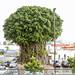 0352 Ficus Tree in Barbados (3)