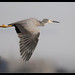 White-faced Heron: Floating