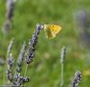 DSC_5733 Clouded Yellow - Female