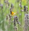 DSC_5736 Clouded Yellow - female
