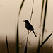 An Ashy Prinia resting on a Stalk against the sunset