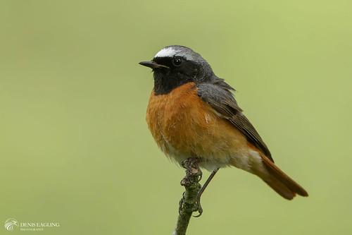 Common Redstart - male