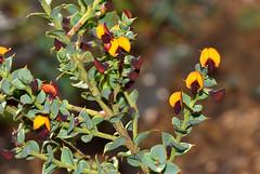 Daviesia cardiophylla