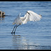Little Egret: There it is.