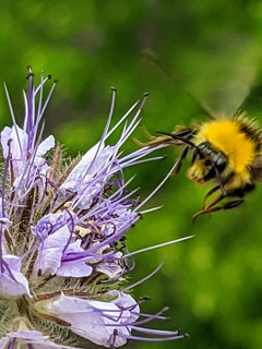 Approach of the bumblebee