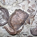 Leptaena richmondensis (fossil brachiopods) (Upper Ordovician; Brookville Causeway roadcut, Franklin County, Indiana, USA) 1