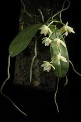 Phalaenopsis floresensis Fowlie, Orchid Digest 57: 36 (1993)