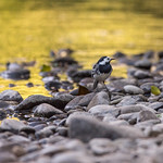 Pied Wagtail by the river