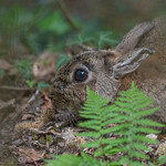 Rabbit in the undergrowth