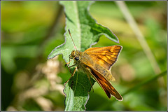Photo of Large Skipper butterfly (Ochlodes sylvanus) F