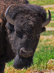 June 14, 2020 - Bison bull closeup. (Bill Hutchinson)