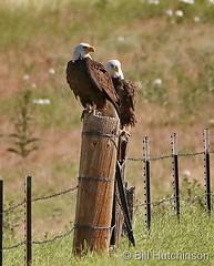 June 14, 2020 - Majestic pair of bald eagles in Adams County. (Bill Hutchinson)